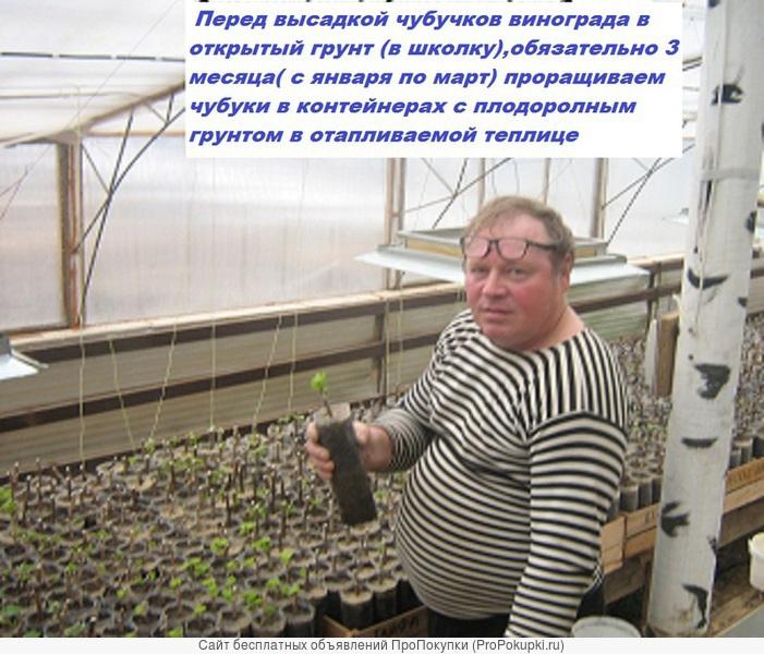 Саженцы винограда 2-х летки от производителя-почтой по России,