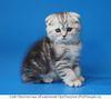 Британские и шотландские вислоухие котята для Вас