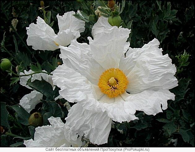 Древовидный калифорнийский мак Ромнея Культера-Romneya coulteri- Редкие садовые многолетники