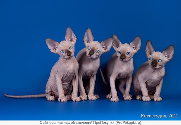 Котята и подростки породы канадский сфинкс.