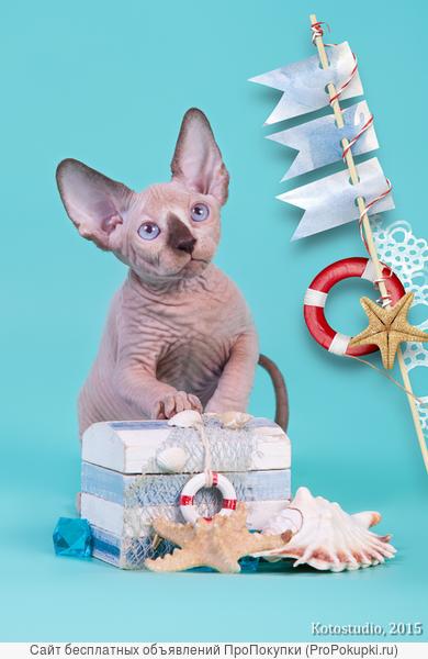 Котёнок сфинкс принесёт Вам удачу