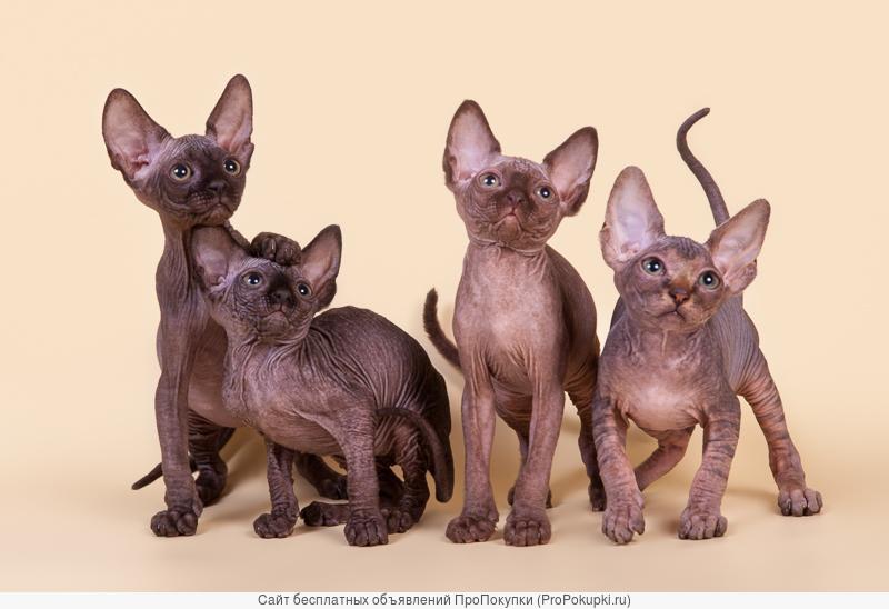 Яркие котята породы канадский сфинкс