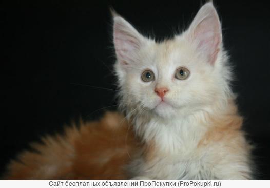 Удивительный и пушистый кот Мейн Кун