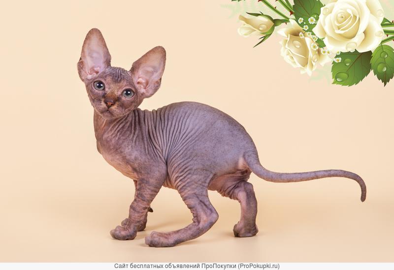 Самая удивительная кошка - сфинкс
