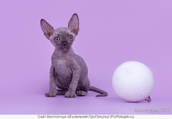 Сфинксы – одна из редких и необычных пород кошек.