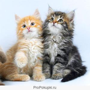 cибирские котята