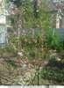 Персика,абрикоса.грецкого ореха саженцы в Ульяновске