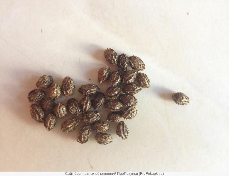 семена полезного и лечебного фруктового дерева папайи