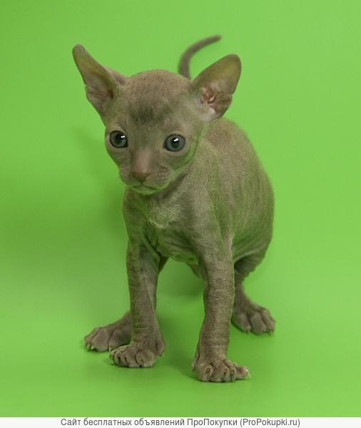 Корниш-рекс элитные котята