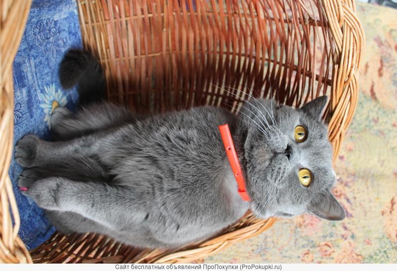 Вязка кошек!Плюшевый британец приглашает