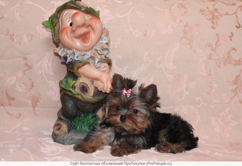 Мини Йорки щенки девочка и мальчик