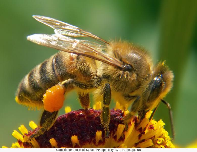 Продаю пчелопакеты и пчелосемьи. Карпатка