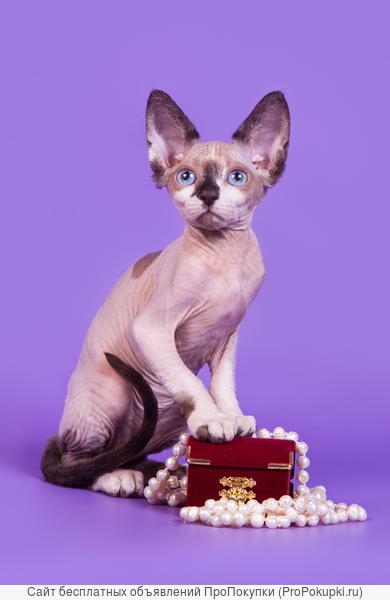 Одна из самых удивительных пород кошек-сфинкс