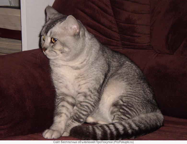британский породистый кот на вязку