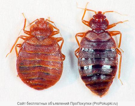 Истребление ( уничтожение) клопов, тараканов, блох, муравьёв.