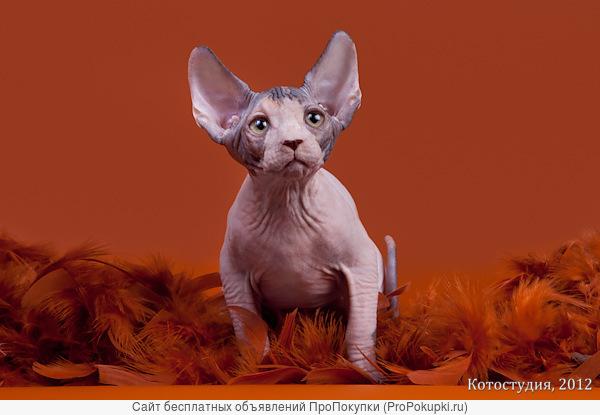 Шоу-котята из питомника.