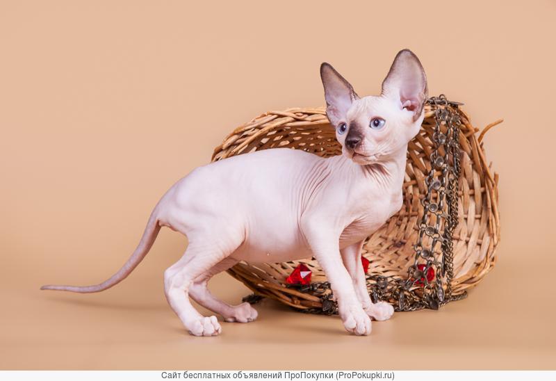 Яркие котята канадский сфинкс