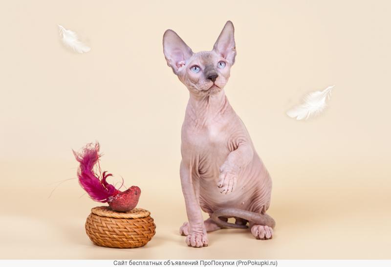 Нежные котята-сфинкс.