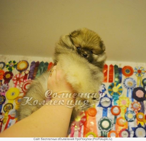 Продаются малыши померанского шпица тип мишка
