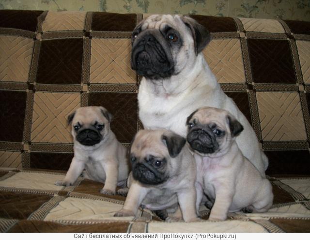 Высокопородные щенки Мопса