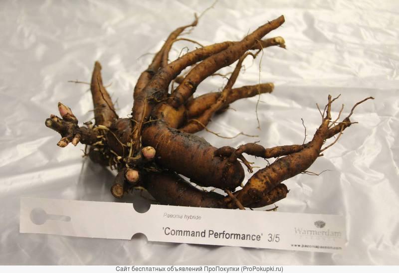 Пионы: травянистые, древовидные, ИТО-гибриды-более 100 сортов