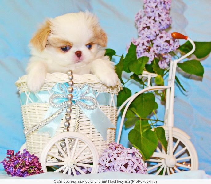 Японский хин щенки