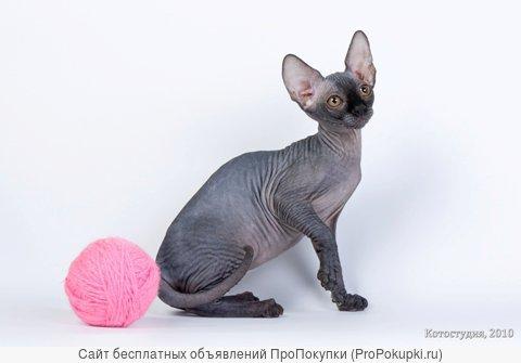 Шоу-котята сфинкс от питомника.