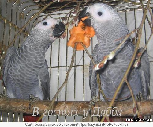 жако птенцы выкормыши от заводчика