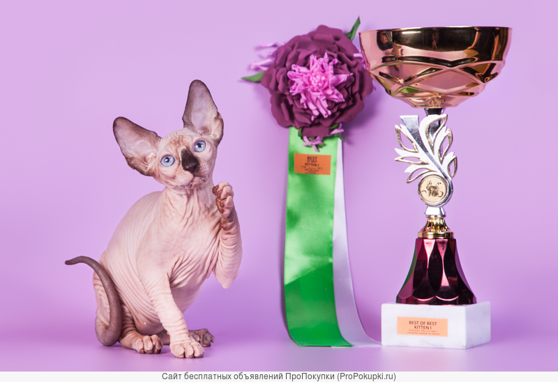 Милое, трогательное существо-котёнок сфинкс
