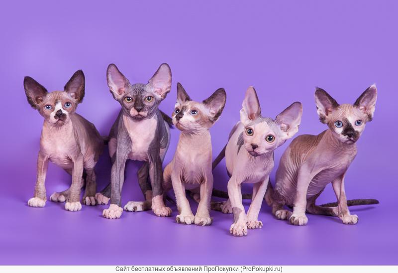 Нежные, как пух, котята сфинкс