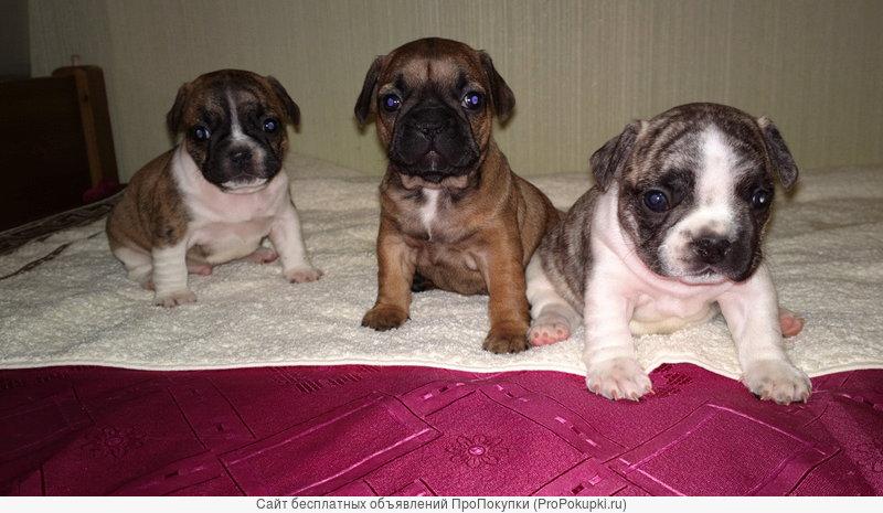 продаю щенков французского бульдога