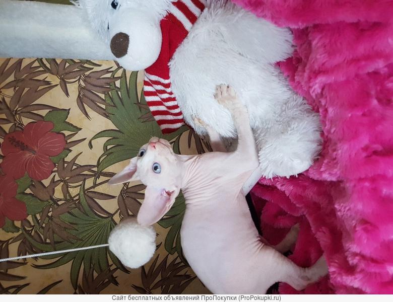 В любимцы красивого котенка канадского сфинкса