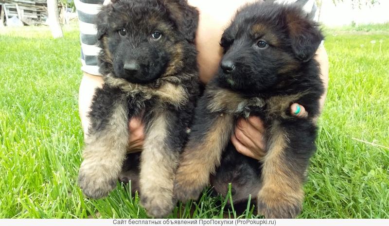 отличные щенки немецкой овчарки