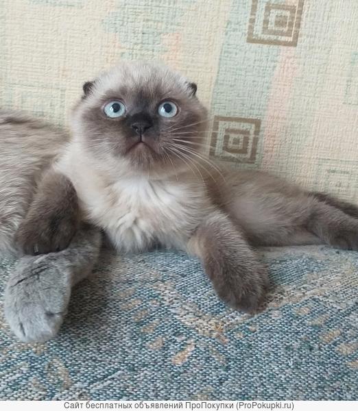 Котята скоттиш страйта и фолда