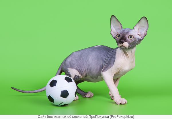 Роскошные котята канадский сфинкс из питомника