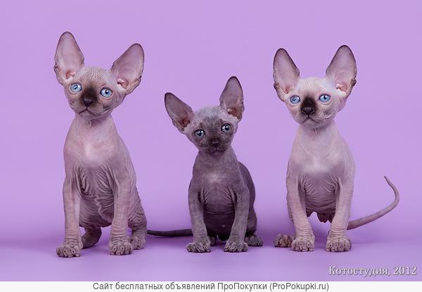 Экзотические котята-канадский сфинкс.