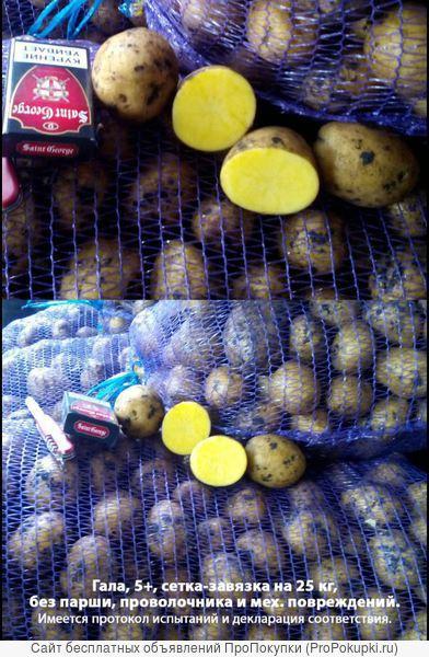 Продаю оптом продовольственный картофель и семенной