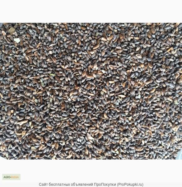 Отправим почтой кондиционные семена голубой Ели