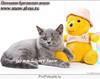 Голубые британские котята из московского питомника.