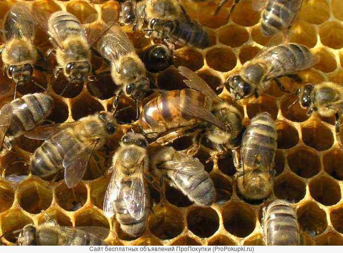 Пчелосемьи пчелопакеты матки карпатской породы (рут, дадан)