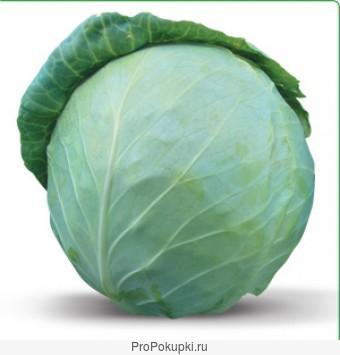 Семена Китано. Предлагаем купить семена белокочанной капусты ХОНКА F1