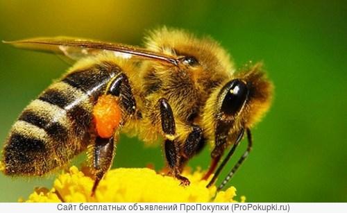 Пчелопакеты карпатка на 2018год