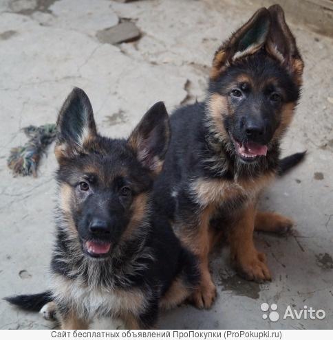 предлагаем щенков немецких овчарок