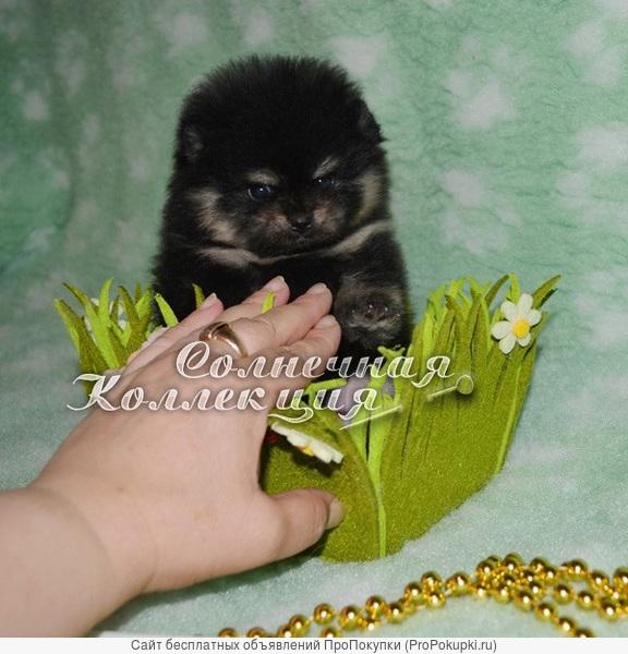 Шпиц померанский редкого черно-подпалого окраса окраса