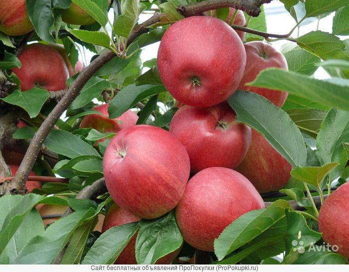 Плодовые деревья, саженцы плодовых деревьев