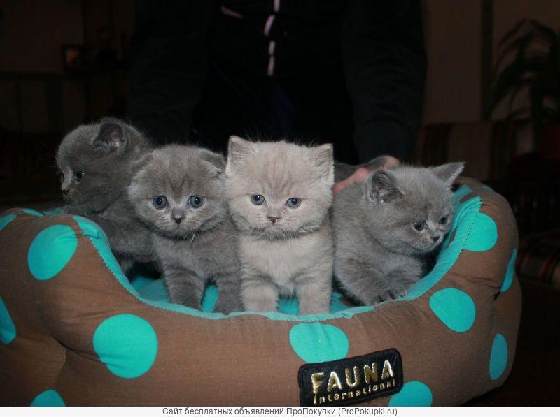 Чистокровные британские и шотландские котята