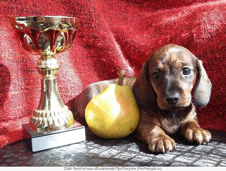 Такса г/ш миниатюрная щенки