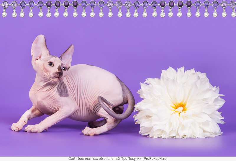 Сфинкс котёнок - ни блох тебе, ни шерсти
