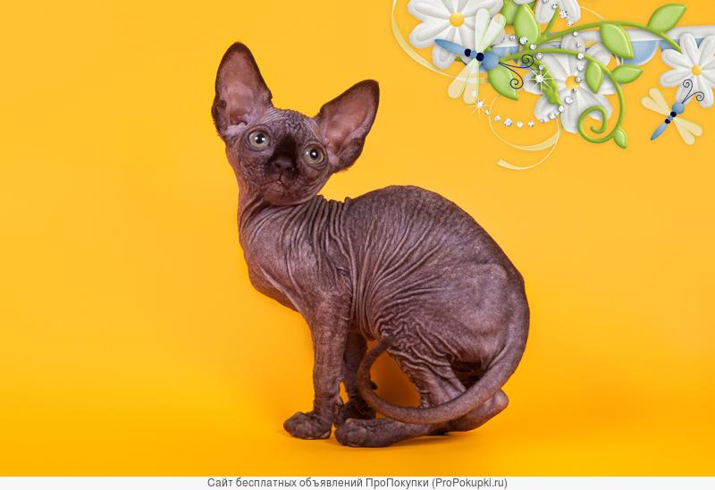 Волшебный котёнок сфинкс