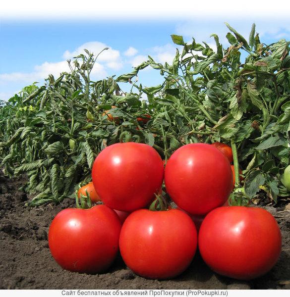 Семена Китано. Предлагаем купить семена томата KS 829 F1